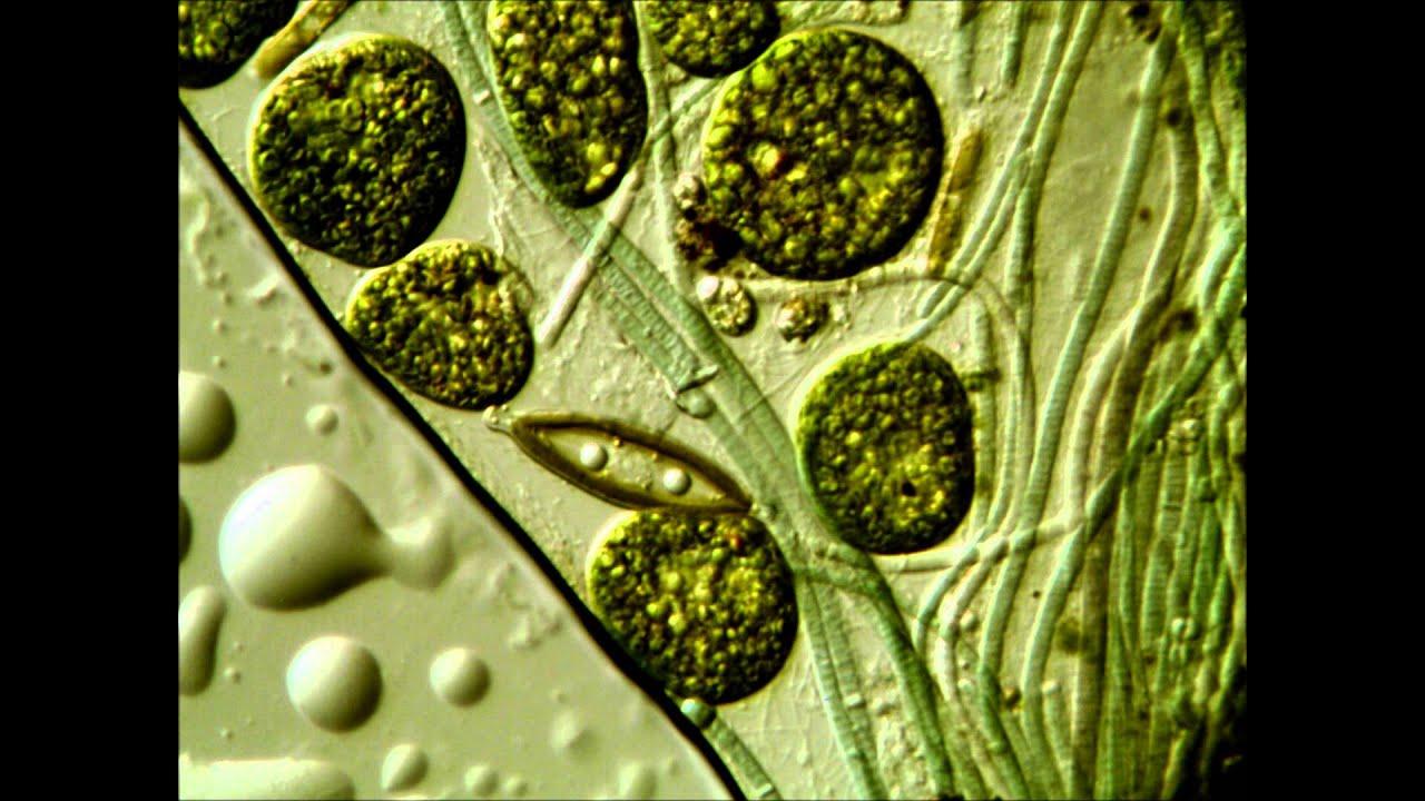 ascaris antigénjei)