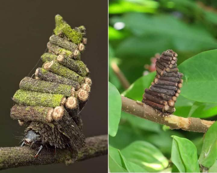 a pinwormok és a roundworms közötti különbség