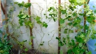 paraziták uborka az üvegházban