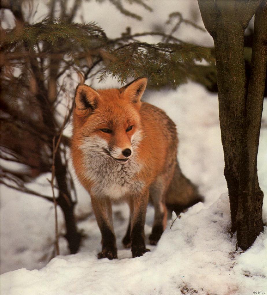 Halálos kórokozó rókákból