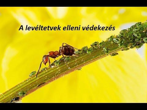 Parazita fekete borsó. A Magyarországon előforduló féregfertőzések