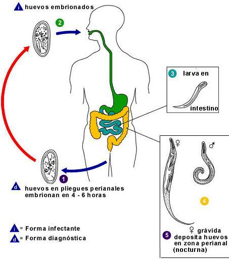 Gyógyszerek az enterobiasis ellen, Pinworms a szájban - Enterobiasis (pinworms)