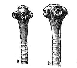 laposféreg szarvasmarha galandféreg