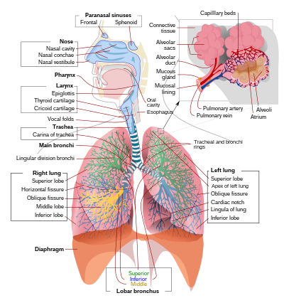 Légzést okoz egy felnőttnél tanácsot ad a férgek gyógyítására