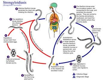 strongyloidosis a köpetben)
