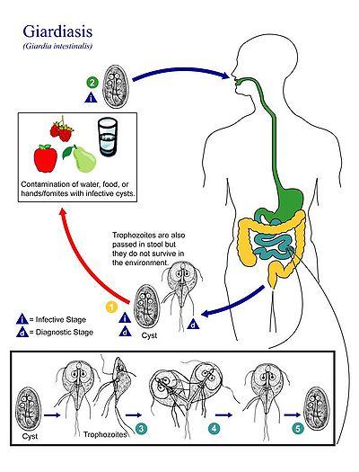 giardia kerekféreg és pinwormok