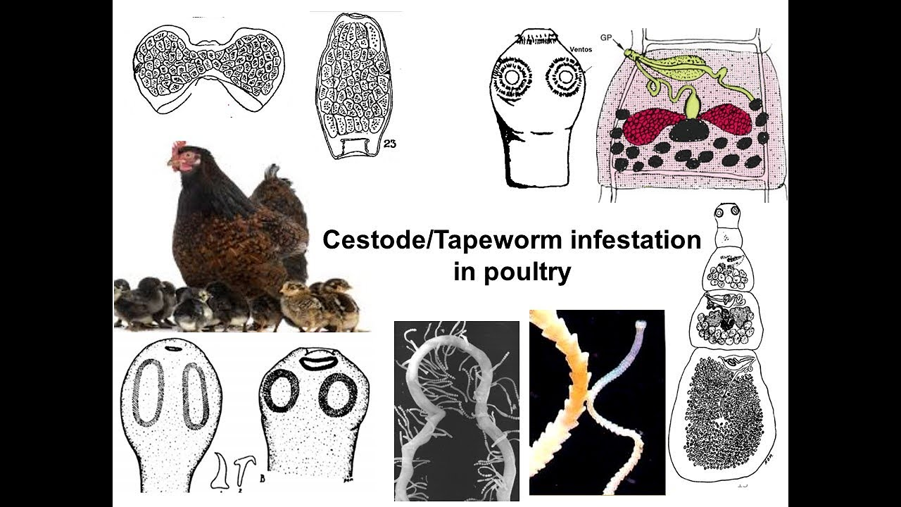 szarvasmarha galandféreg patogenezise