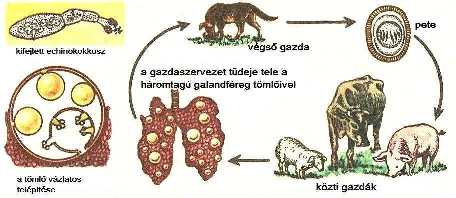 mire juthat egy szarvasmarha galandféreg