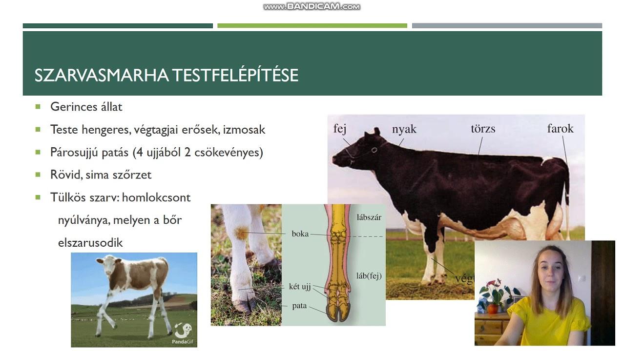 szarvasmarha galandféreg- fertőzés módszerei)