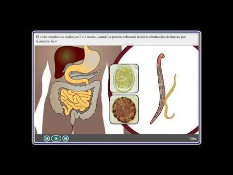 a női ürömféreg reproduktív szerve az