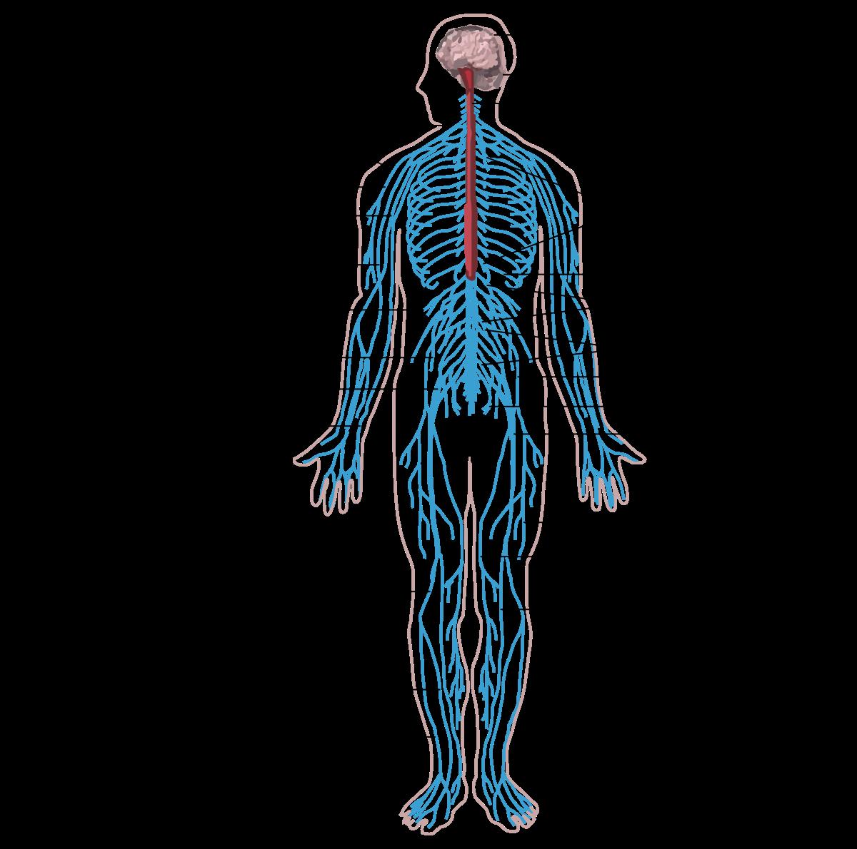 az emberi test bélparazitáinak gyógymódja)