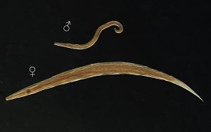 ahol a pinworm tojást rak)
