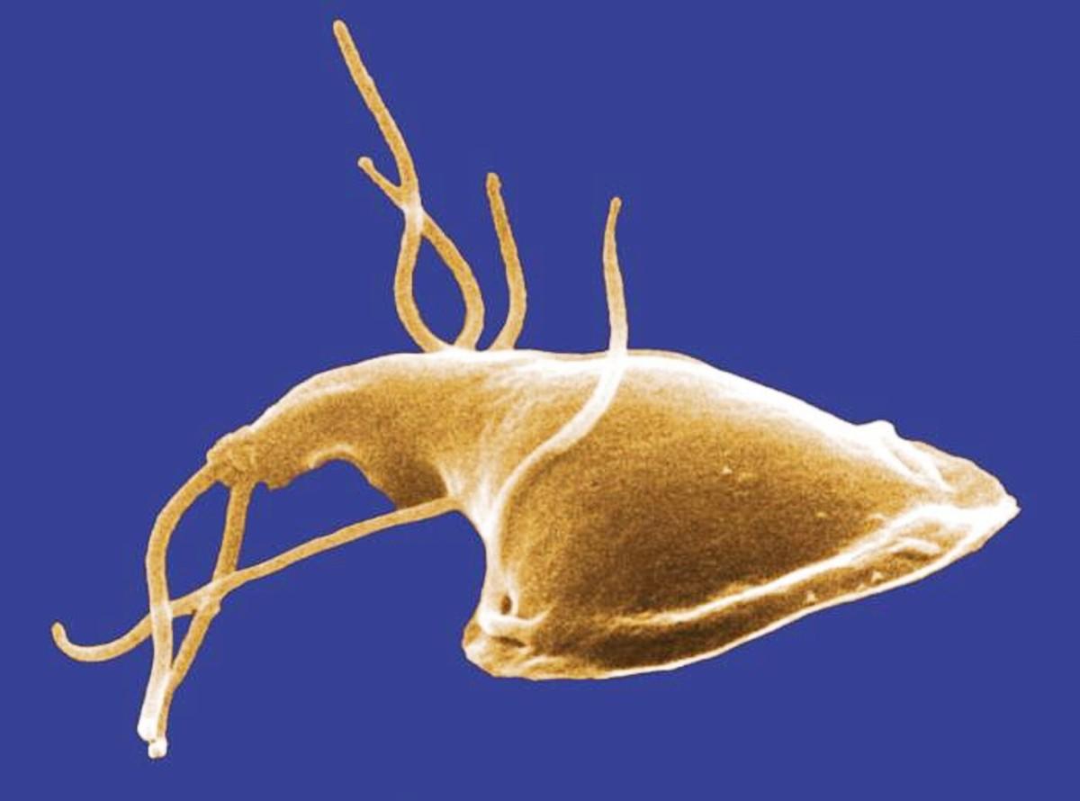 a giardiasis természetesen gócos
