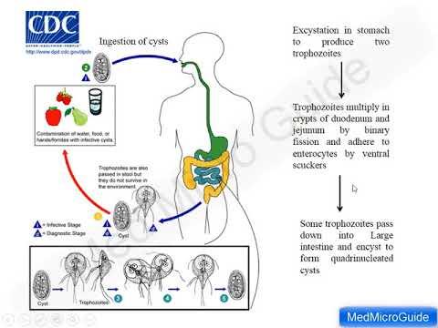 giardiasis opisthorchiasis kezelés
