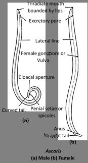 az ascariasis megelőzésére szükség van az enterobiasis a legjobb gyógymód