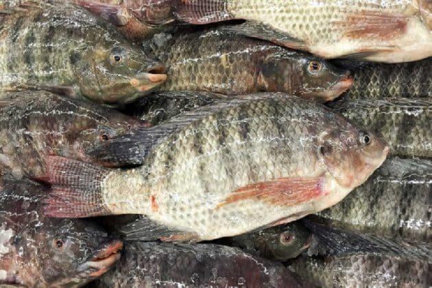 a tonhal nem parazita