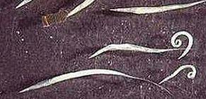 gömbféreg- tojás hőmérsékleten a bélparaziták kinyitásakor