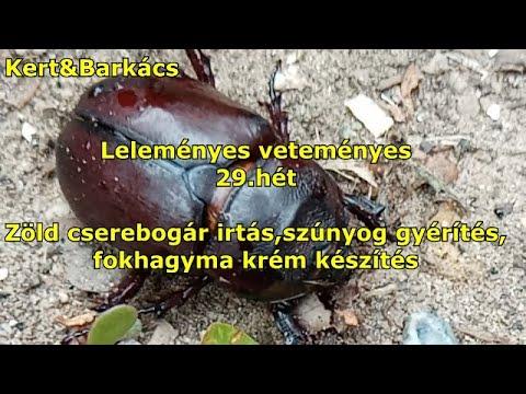 paraziták kivonva amelyből gyakran megjelennek a pinwormok