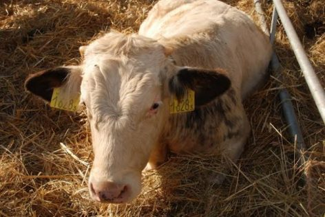 miből lehet szarvasmarha galandférget szerezni