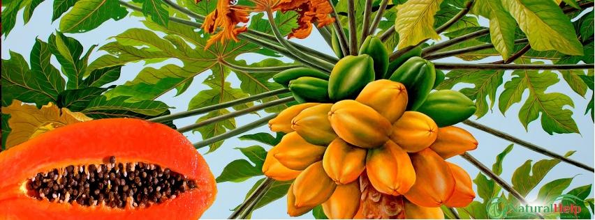 paraziták a papayában