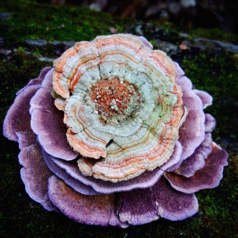 a lichen pink parazita