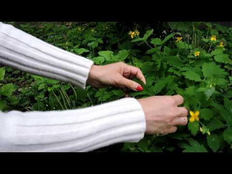 gyógynövények gyűjtése a májban élő parazitákból)