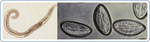 Pinworm tojás mérete, Jo parazita gyogymod