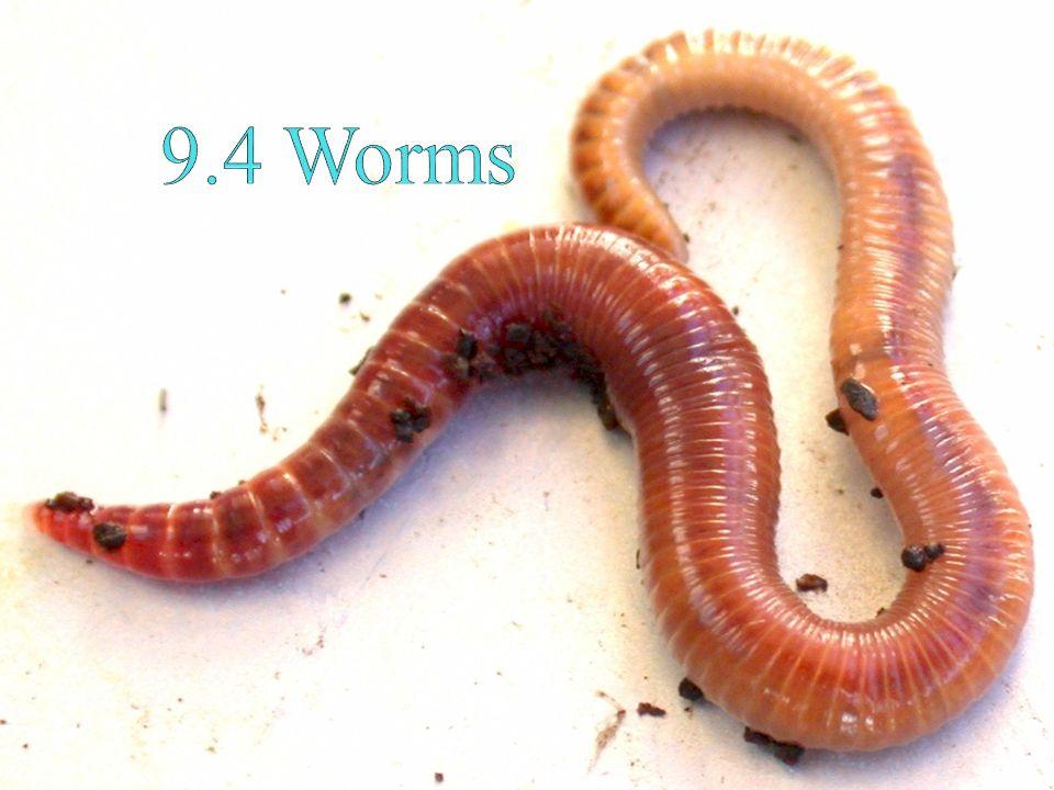 Ascaris annelid féreg. Kelas filum nemathelminthes. Nemathelminthes biologi x