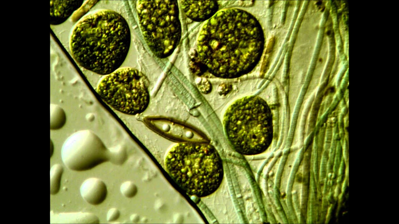 ascaris antigénjei a pinwormok nem tűntek el