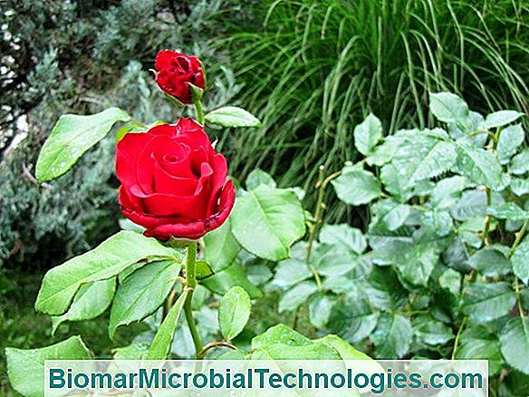 beltéri rózsaparaziták