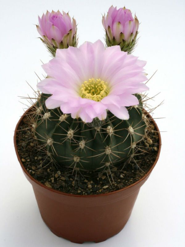 kaktusz parazita a kaktuszon, hogyan kell ültetni