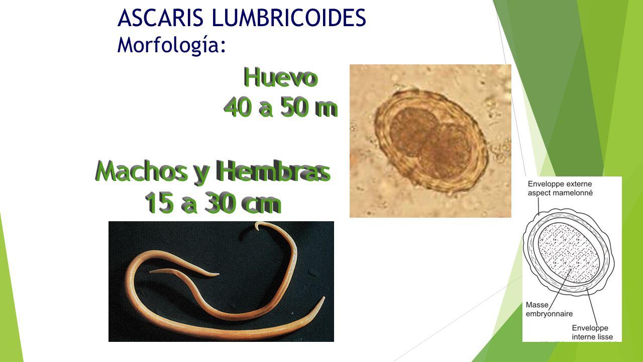 ascariasis morfológia fórum a paraziták testből való eltávolításáról