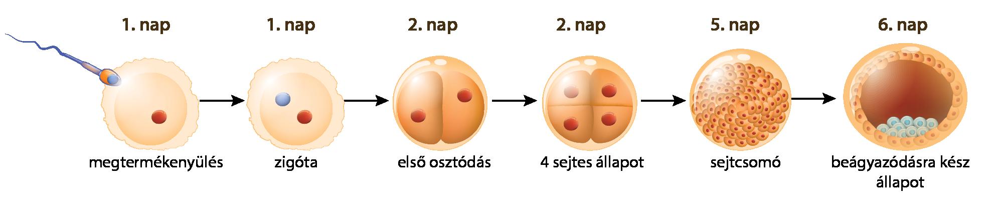 megtermékenyített petesejt