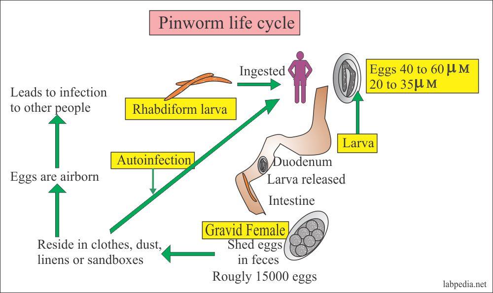 pinworm lokalizáció a testben)