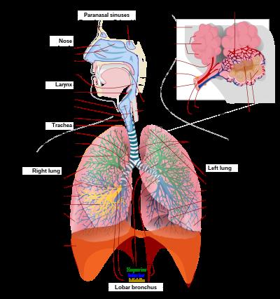 Légzést okoz egy felnőttnél