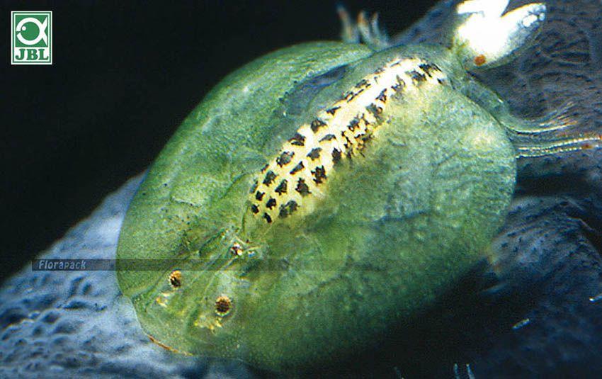 hogyan kell kezelni a parazitáktól származó gyors csibét kerekféreg paraziták példái