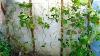 paraziták uborka az üvegházban)