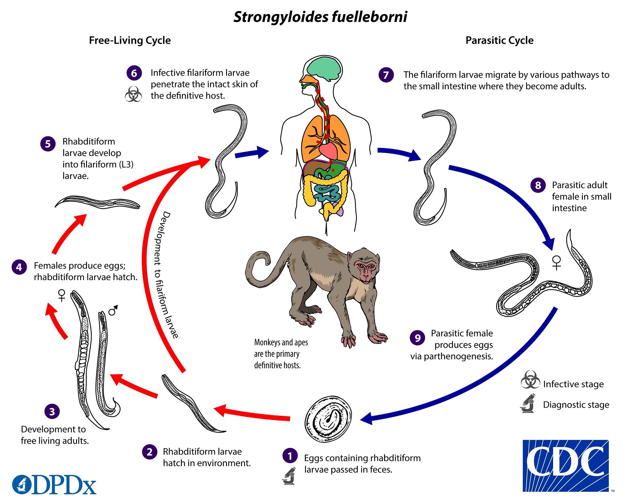 strongyloidosis, ahol gyakori