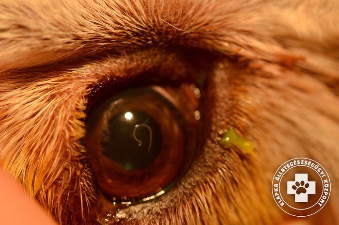 vörös szem paraziták paraziták fekete tojása