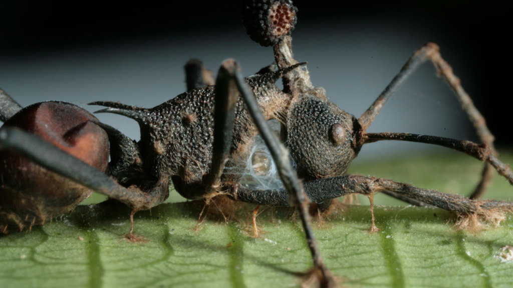 ebihal parazita