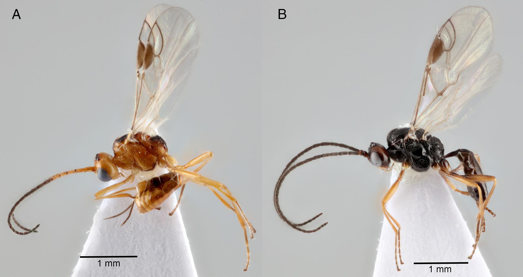a szarvasmarha galandféregből hiányzik a rendszer szarvasmarha galandféreg proglottid