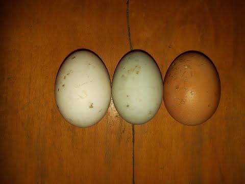paraziták fekete tojása)