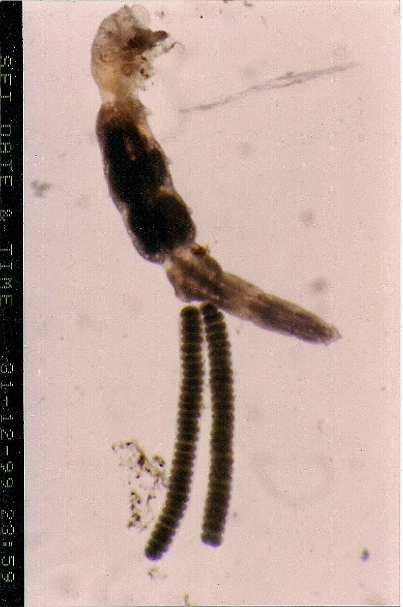 tilápia paraziták