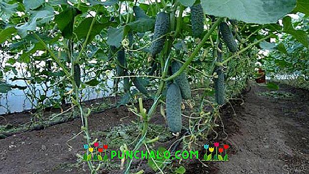 Az uborka termesztése és hajtatása