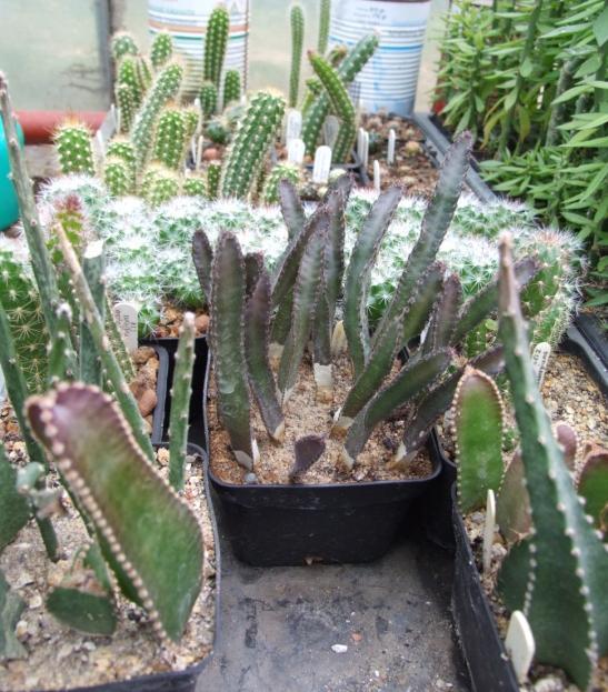 paraziták kaktusz fehér