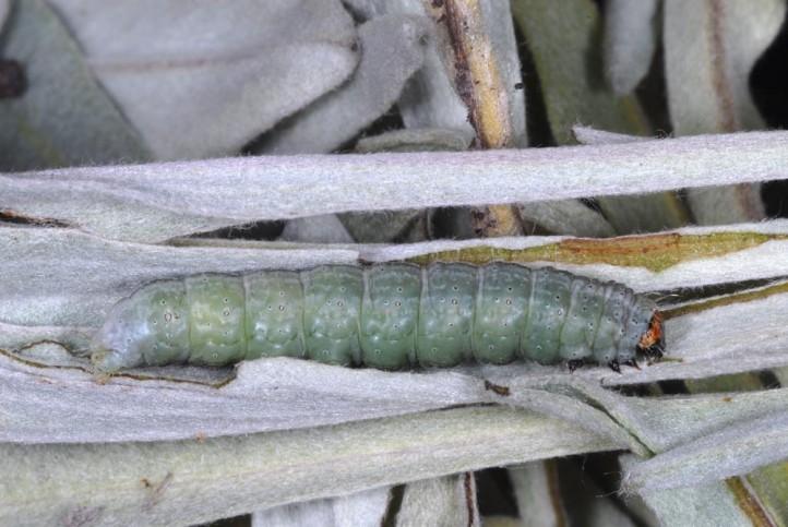 Mi a szalagféreg életciklusa