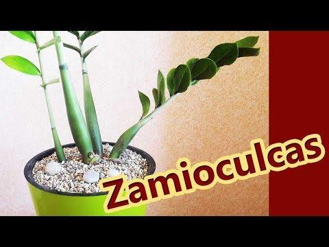zamioculcas paraziták)
