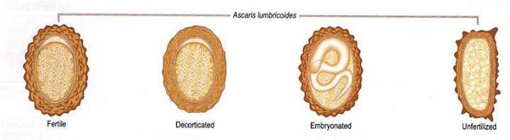 ascariasis morfológia