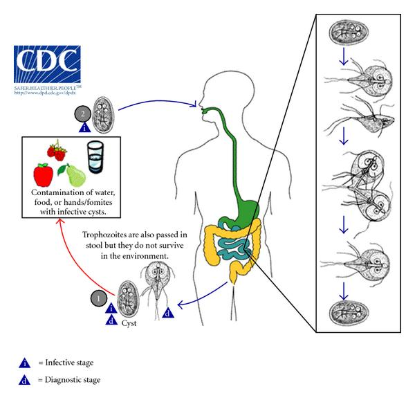 a giardiasis jelei felnőtteknél