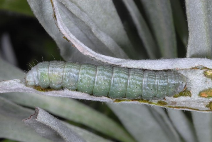 mi a galandféreg életciklusa